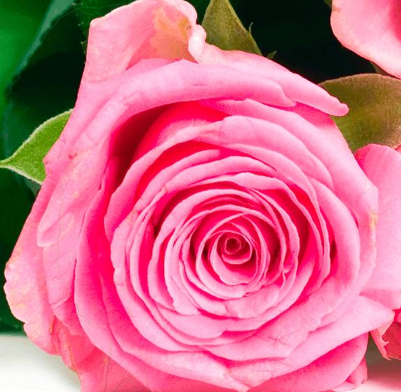 """XXL Rosenstrauß: 26 Rosen """"MagicalMoments"""" für 19,98€ inkl. Versand"""