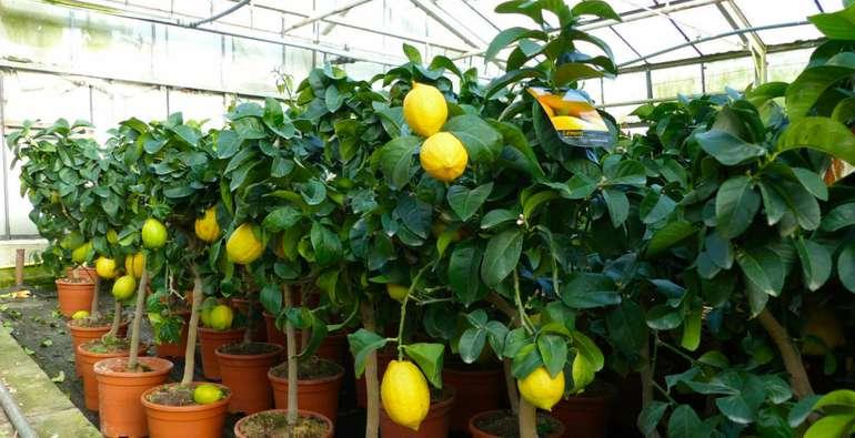 Banner Zitronenbaum