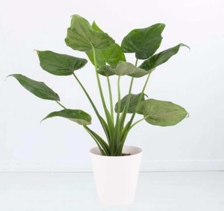Alocasia Cucullata (Elefantenohr, 60 cm + gratis Topf) für 19,90€inkl. Versand (statt 28€)