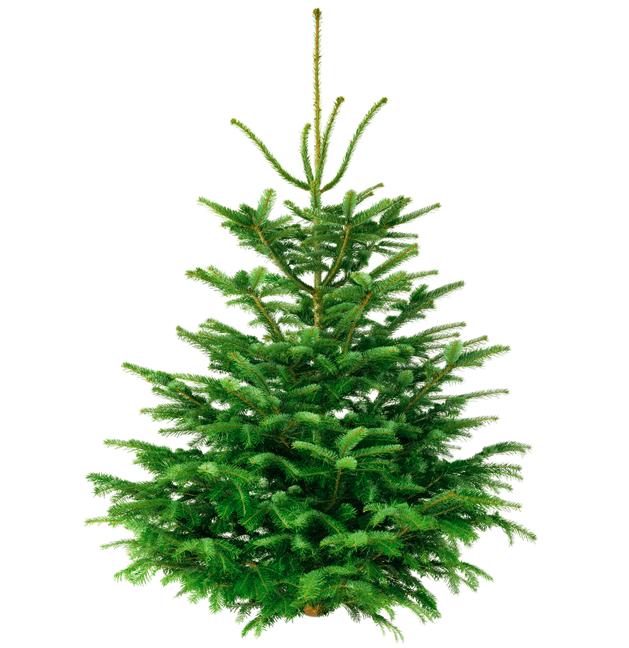 Weihnachtsbaum: Nordmanntanne (110cm - 120cm Länge) für 14,98€ inkl. Versand