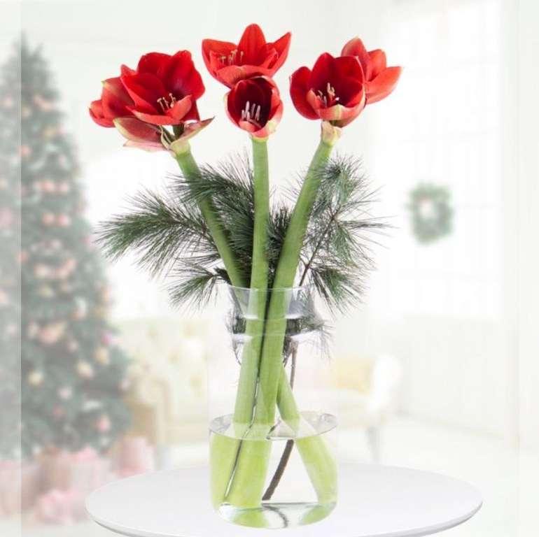 3 große Amaryllis mit winterlichen Kiefernzweigen für 17,90€ inkl. Versand (statt 23€)