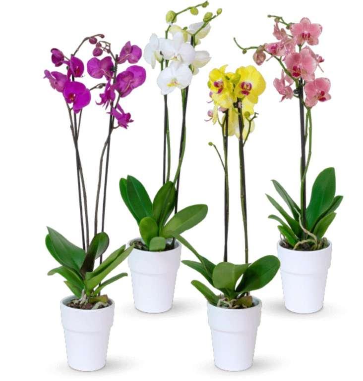 4 Orchideen (Phalaenopsis) Mix für 24,98€ inkl. Versand (6,22€ pro Blume)