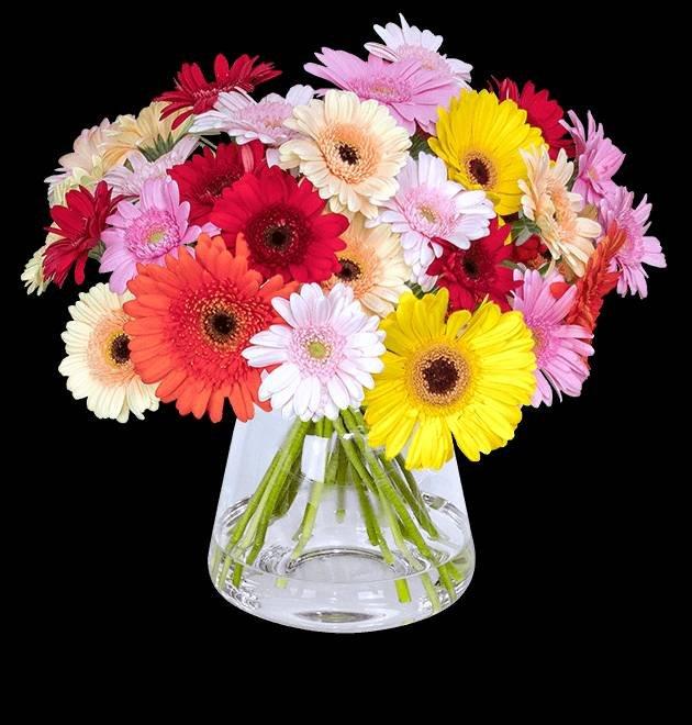 41 bunte Gerbera Blumen mit 50cm Stiellänge für 22,98€ inkl. Versand