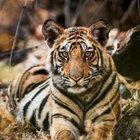 """Wilde Dynastien: BBC-Doku """"Duell der Tiger"""" in der ARD-Mediathek anschauen"""
