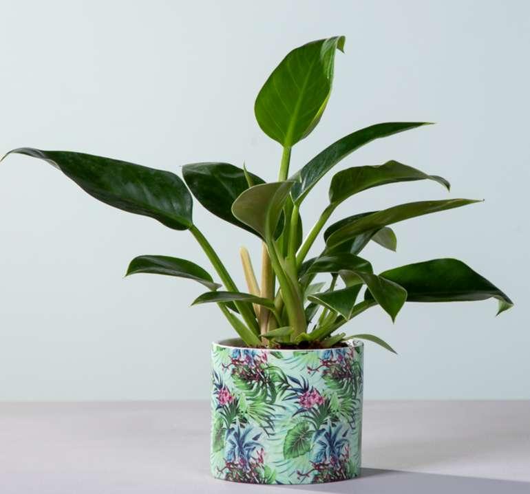 Philodendron Imperial Green mit Übertopf für 9,99€inkl. Versand (statt 15€)