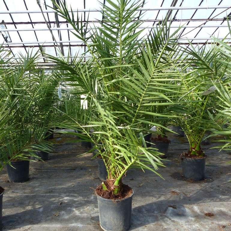 Palme 120 - 140 cm, Phoenix canariensis, kanarische Dattelpalme  für 39,95€ inkl. Versand (statt 48€)