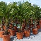 Hanfpalme (Trachycarpus fortunei) 120-150cm groß für 59,99€ inkl. Versand