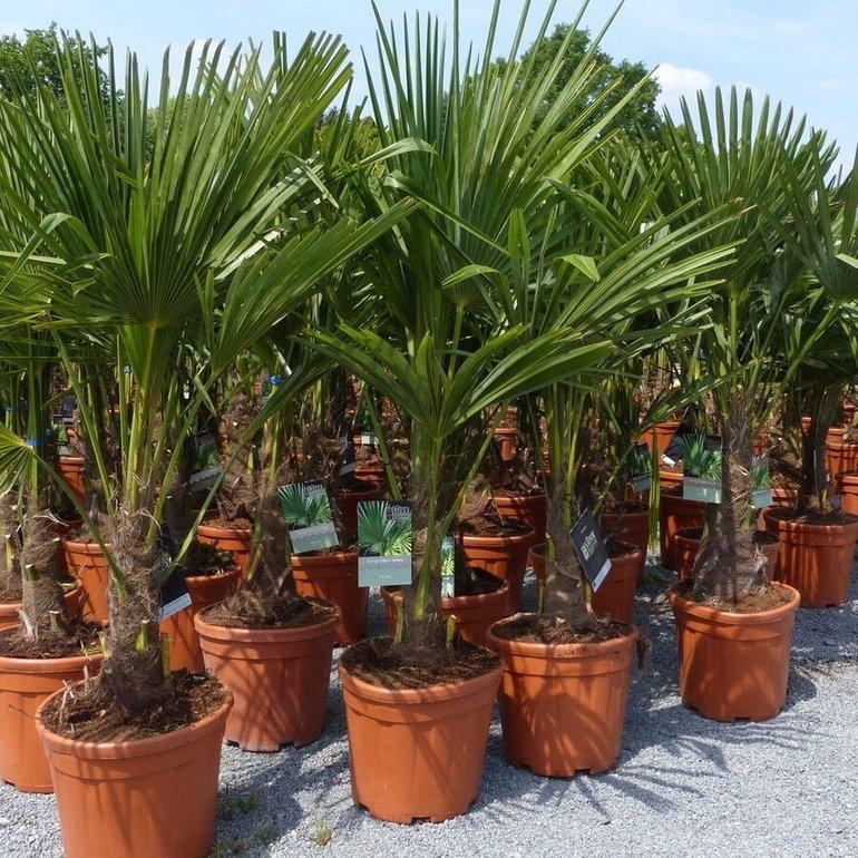 Hanfpalme (Trachycarpus fortunei) 160-180cm groß für 98,98€ inkl. Versand (statt 111€)