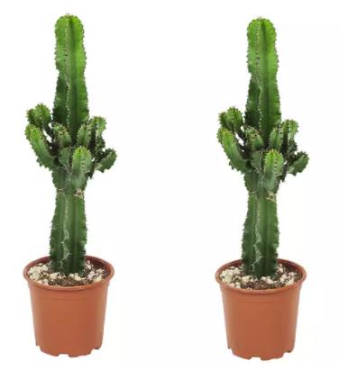 1x oder 2x Dreikantige Wolfsmilch Pflanze Euphorbia Eritrea ab 27,89€ inkl. Versand (statt 68€)