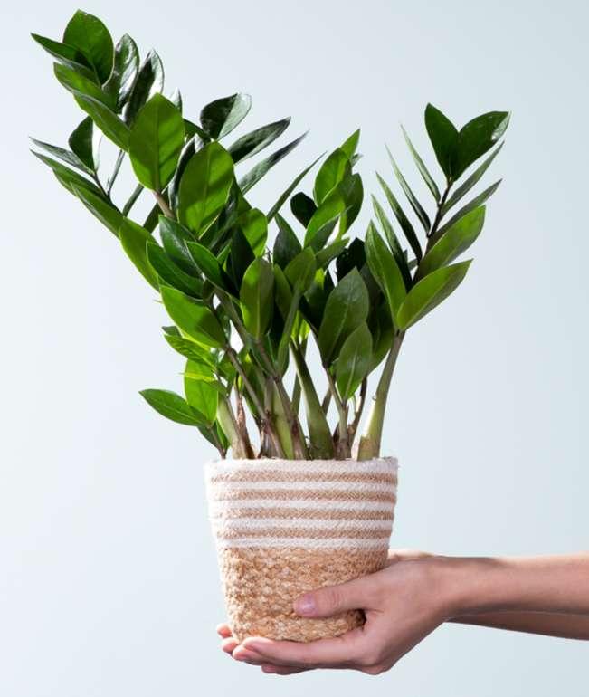 Blume 2000: Zamioculcas Pflanze mit Korb für 10€inkl. Versand (statt 20€) - Nur Neukunden!