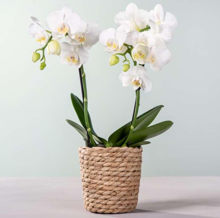 Orchidee in Weiß mit Korb für 10€ inkl. Versand (statt 20€)