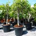 Feigenbaum 80 - 90cm - zwei Sorten pro Topf (Gota de Miel und Napolitana) für 49,99€ inkl. Versand (statt 60€)