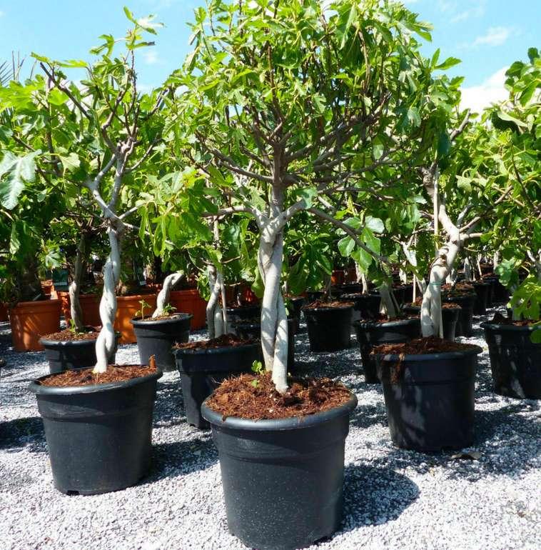 Feigenbaum 80 - 90cm - zwei Sorten pro Topf (Gota de Miel und Napolitana) für 67,49€ inkl. Versand (statt 75€)