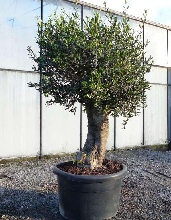 Olivenbaum Copa Baja 60 Jahre und winterhart für 345€ inkl. Versand (statt 468€)
