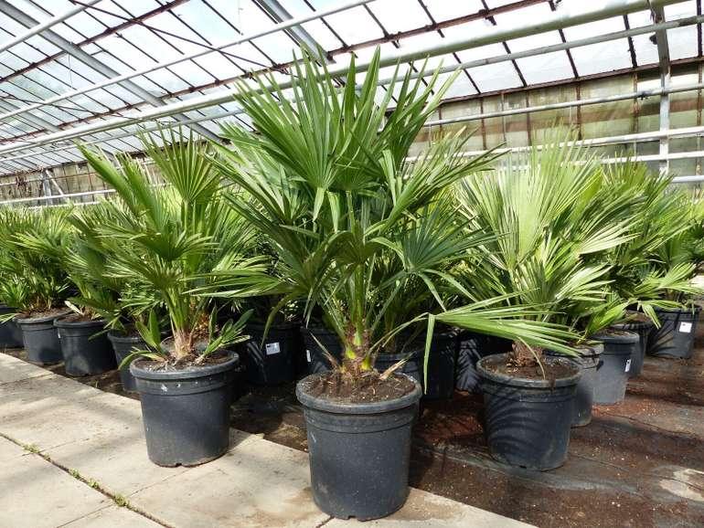 """Palme """"Vulcano"""" mit ca. 90 cm (winterhart bis -12°C) für 31,05€ inkl. Versand (statt 35€)"""