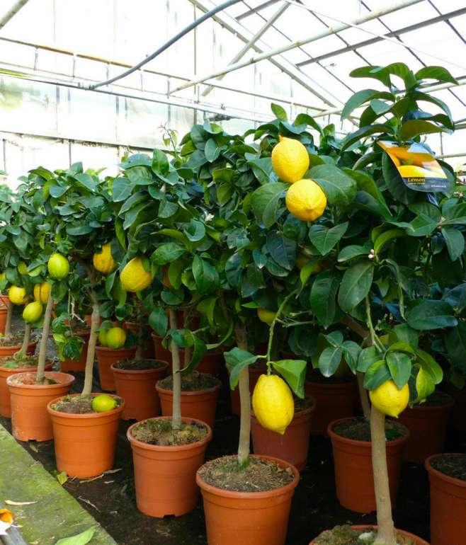 Echter Zitronenbaum 70 - 100cm für 34,99€ inkl. Versand (statt 40€)