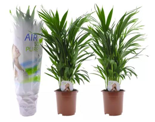 2x oder 4x Areca-Palme mit luftreinigender Wirkung ab 25,98€ inkl. Versand (statt 44€)