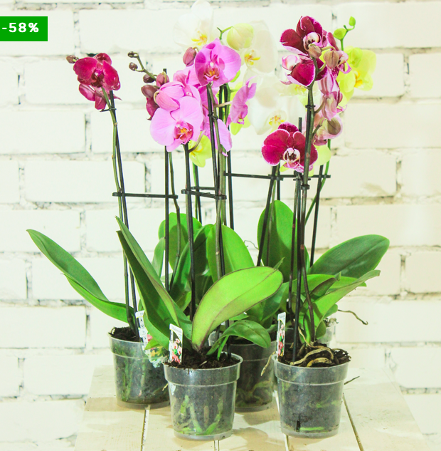5 Orchideen (Phalaenopsis) in verschiedenen Farben (Größe: 60-70cm) für 29,98€