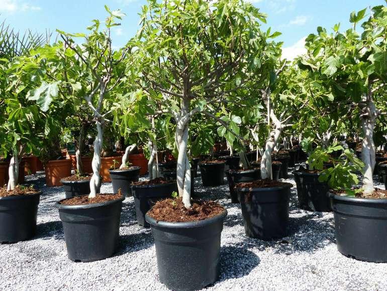 "Feigenbaum ""Ficus Carica"" (80-90cm inkl. Topf, Frostresistent bis -10°C) für 39,99€ inkl. Versand (statt 58€)"