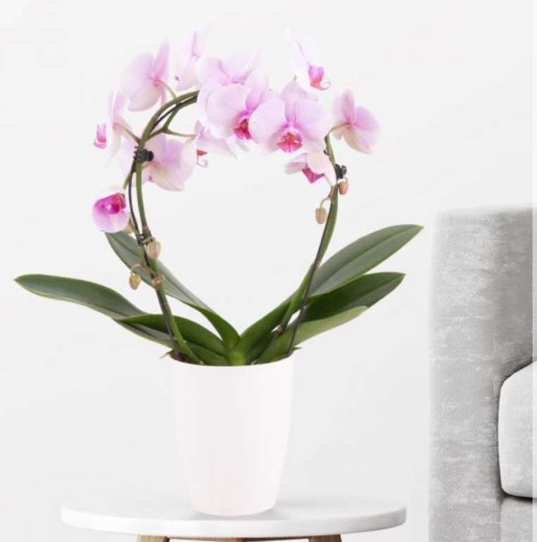 Orchideenbogen Rosa (Phalaenopsis mit Bogen, 45cm) für 27,90€ inkl. Versand (statt 33€)