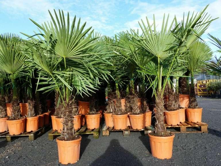 Hanfpalme (Trachycarpus fortunei) 70 - 100 cm hoch für 31,49€ inkl. Versand (statt 190€)