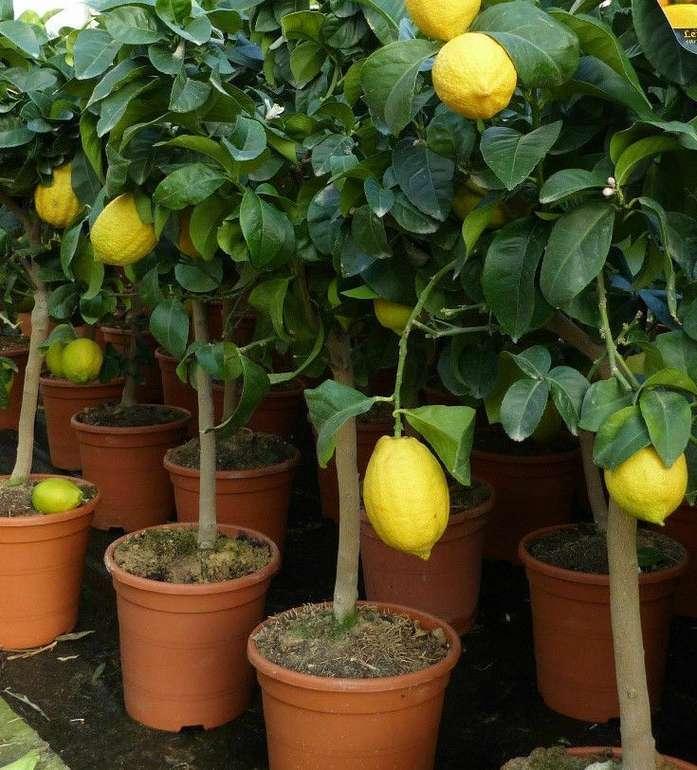 Zitronenbaum Citrus Limon (60-70 cm) in Blüte + junge Früchte für 30€ (statt 35€)