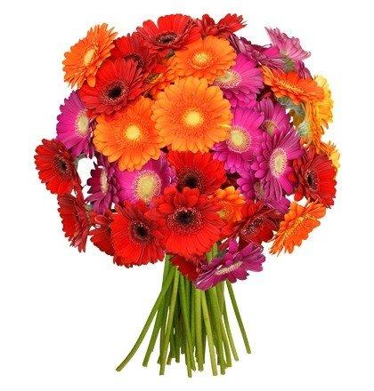 Blumenstrauß mit 44 Gerberablüten für 22,98€ inkl. Versand