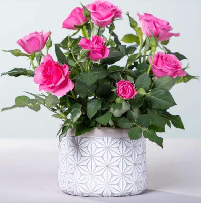Blume2000: Topfrose Infinity mit Übertopf für 10€ inkl. Versand (statt 20€) - nur Neukunden!