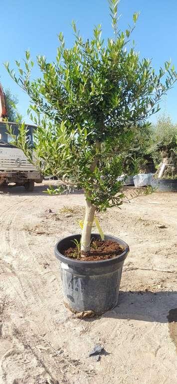"""Olivenbaum """"Olea Europaea"""" (20 Jahre, 150 - 180 cm, winterhart) für 149,99€ inkl. Versand"""