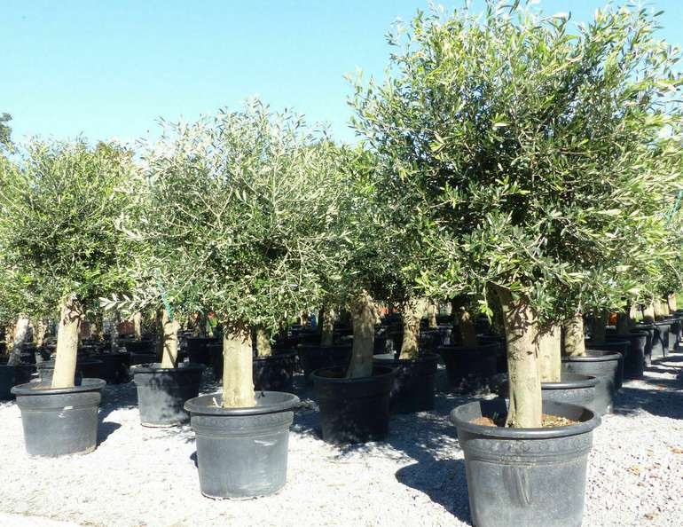 Olivenbaum 200 - 230 cm (50 Jahre alt, leicht knorrig) für 304,10€ inkl. Versand (statt 328€)